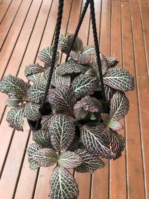 Houseplant for Sale in Auburn, WA