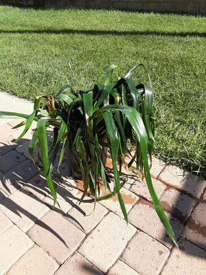 Trade large bromeliad plant in 5 gallon pot for planting pots for Sale in Covina, CA