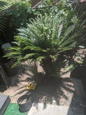 Sago palm - free if you dig it out for Sale in Pico Rivera, CA