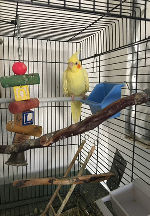 FREE COCKATIEL for Sale in Grover Beach, CA