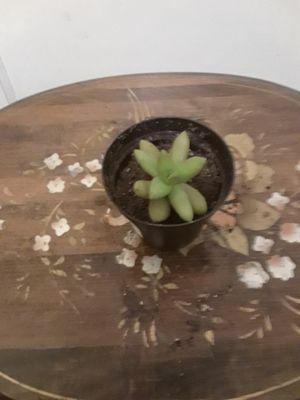 Small succulent for Sale in North Attleborough, MA