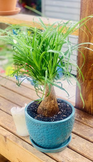 Live indoor Ponytail Palm house plant in a textured ceramic planter flower pot with base attached—firm price for Sale in Seattle, WA