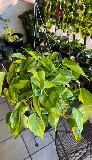 Philodendron plant for Sale in Los Angeles, CA