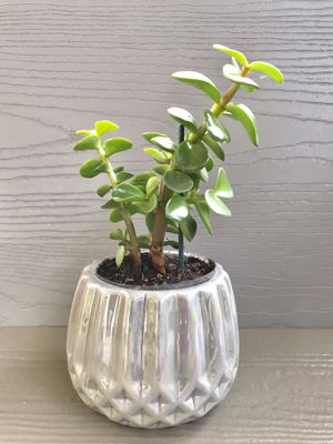 Elephant Bush house plant with the pot. for Sale in Everett, WA
