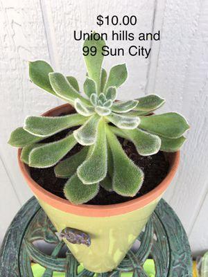 Succulent fuzzy live plant for Sale in Sun City, AZ
