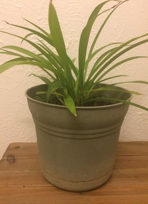 Spider Plant green house plant real live for Sale in Arlington, TX