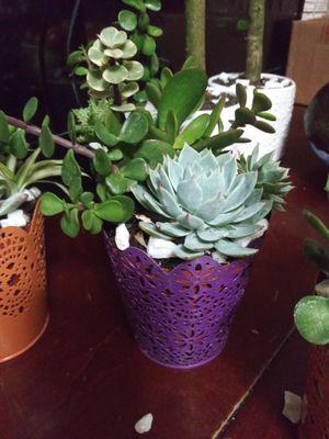 Succulents en macetitas de colores for Sale in Bell, CA