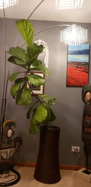 Fiddle tree houseplant.with ir without rattan wicker planter pot for Sale in Streamwood, IL
