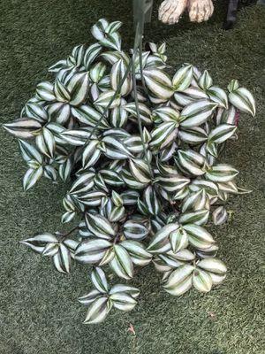 "Plants (8""hanging pot Wandering Jew $15) for Sale in Chula Vista, CA"