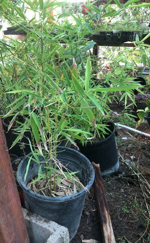 Bamboo plant in 5 g pot for Sale in Modesto, CA