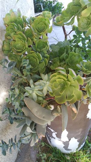 Succulent plants/ succulentos baratos for Sale in Rialto, CA