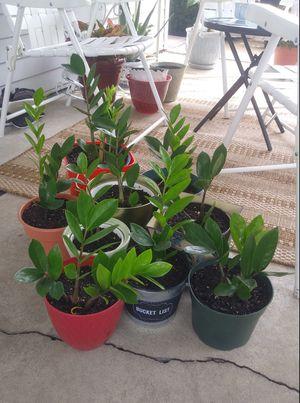 ZZ house plants$12-$18 each pot for Sale in St. Louis, MO