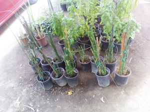 Horsetail for Sale in Fresno, CA