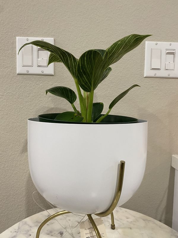 Philodendron birkin plant in 6 inch pot