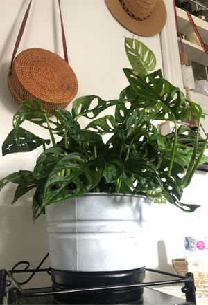 Monkey mask plant for Sale in Queens, NY