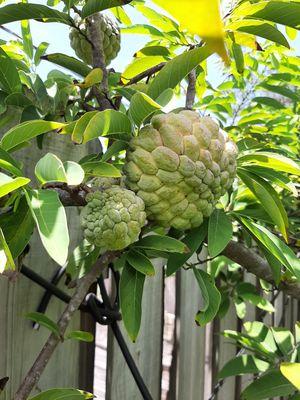 Sweetsop. Sweet apple for Sale in GRANT VLKRIA, FL