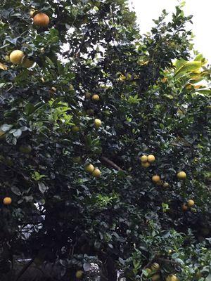 Organic Oranges for Sale in Hilo, HI