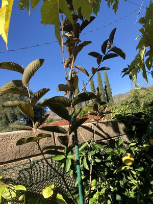 Moringa Tree for Sale in Glendora, CA - OfferUp