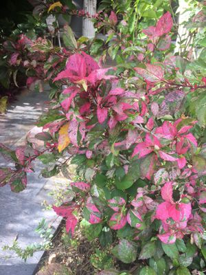 Rooted Plantlings Fire & Ice Hibiscus Sinensis for Sale in Poinciana, FL