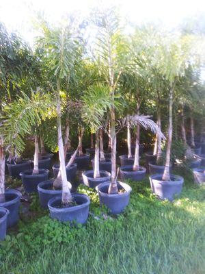 Fox tail palm 25gl for Sale in Miami, FL