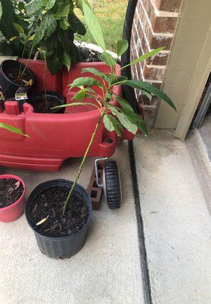 Avocado plants for Sale in San Antonio, TX