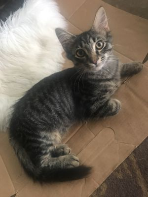 Free baby cats 4 total for Sale in Greenville, SC