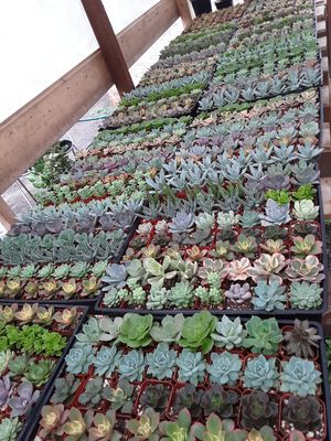"2"" pots with succulent plants $1 each and $55 for tray of 64 plants for Sale in La Mirada, CA"