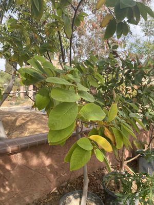 Cherimoya Tree for Sale in Norco, CA