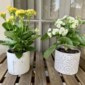 Kalanchoe Yellow and White in Decor Pots! Only $15 for Sale in Los Angeles, CA