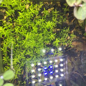 Live Aquarium Plants For A Fish Tank (Pearl Weed) for Sale in Hesperia, CA
