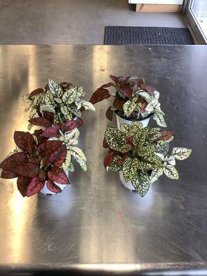 Polka dot plant for Sale in Bakersfield, CA