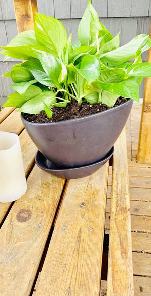 Live Indoor Pothos house plant in a charcoal ceramic planter flower pot with a base—firm price for Sale in Seattle, WA