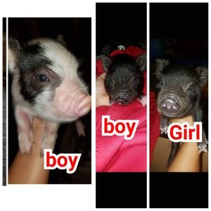FOR SALE $75 EACH I HAVE 3 LIL potbelly pigs. 2boys & 1girl. They're ready for new home they're healthy for Sale in Fullerton, CA