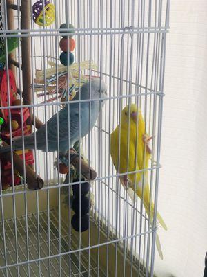 Parakeet for Sale in Hacienda Heights, CA
