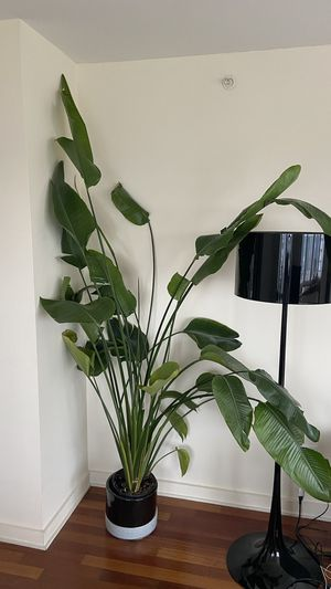 8 foot Tall Bird of Paradise Plant w/ contemporary ceramic pot & drainage for Sale in New York, NY