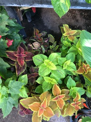 Coleus plant in 4 in pot for Sale in Ceres, CA