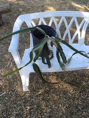 Dragon fruit plant for Sale in Riverside, CA