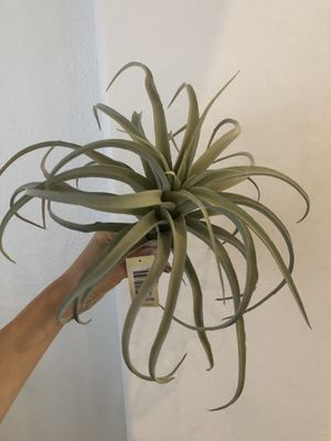 Fake Air Plants (big and looks real!) 3 available for Sale in Irvine, CA