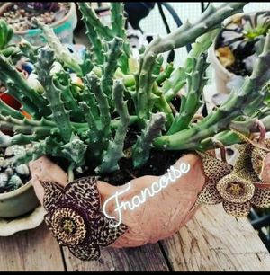 Rare Carrion Flower African Succulent for Sale in Salida, CA