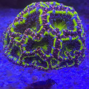 Aquarium Live Coral For Sale Acan Colony for Sale in Los Angeles, CA