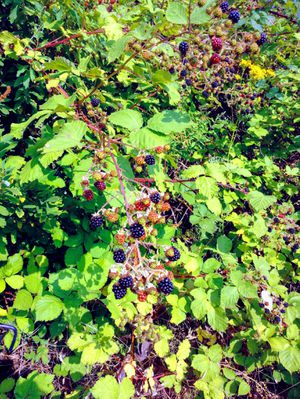 Blackberries for Sale in Lake Stevens, WA