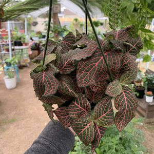 Fittonia 🌿 Nerve Plant with bloom in hanger pot 🌱 for Sale in National City, CA