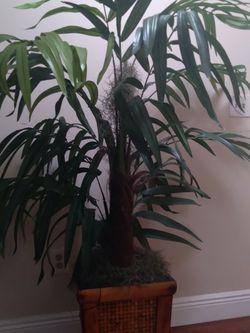 Slik Plant Palm for Sale in Boca Raton,  FL