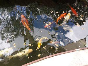 JAPANESE KOI FISH for Sale in Chula Vista, CA
