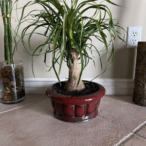 Live Ponytail Palm Plant Tree Succulent With Ceramic Pot With Drainage Hole for Sale in Las Vegas, NV
