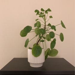 Pilea Pepermioides Plant (Chinese Money Plant) for Sale in Walnut Creek,  CA