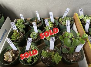 Succulent Plant for Sale in San Francisco, CA