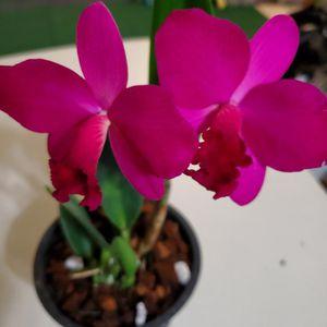 Cattleya Fire Bird Orchids Flower Pot for Sale in Costa Mesa, CA