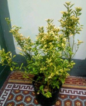 Out door plant boxwood for Sale in The Bronx, NY