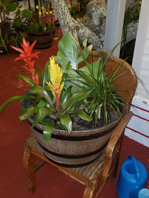 Gorgeous wooden like tub with bromelias a big exotic succulent for Sale in Miami Gardens, FL